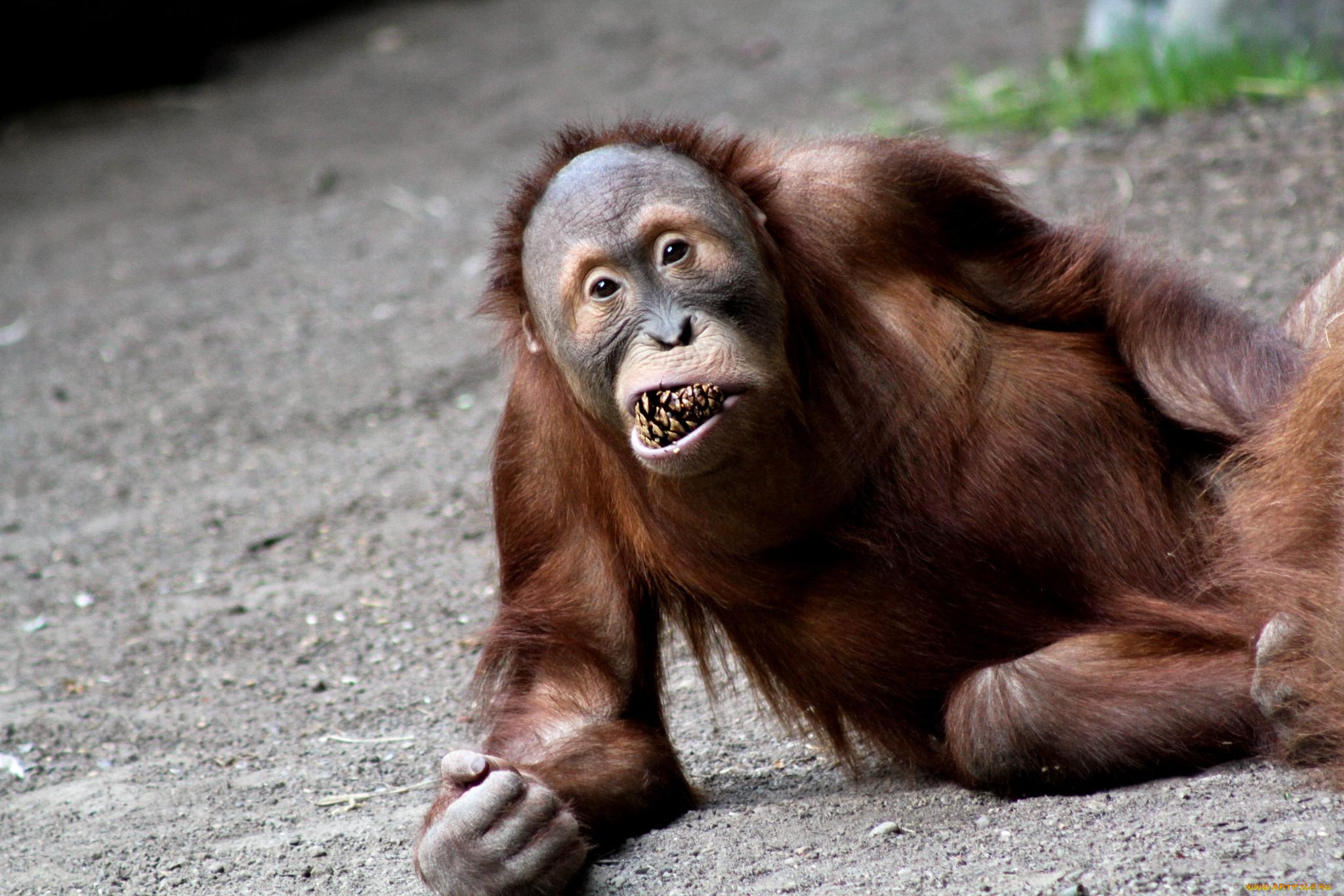 Улыбающаяся обезьянка картинки что, как